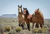 Wild Horses of Wyoming (Amy Hudechek Photography) Tags: wild summer horses free wyoming rocksprings happyphotographer pilotbuttewildhorsescenicloop amyhudechek