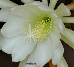 Cactus flower in my garden (pat.bluey) Tags: mygarden flowers newsouthwales australia blacktown white cactus 1001nights 1001nightsmagiccity sunrays5 hennysgardens friends ruby3