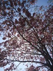 Árbol de Macuilis (Caneckman) Tags: naturaleza primavera arbol flor tabasco villahermosa vegetacion