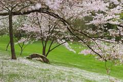 Sakura ! (Blandine - L) Tags: mars 50mm spring bokeh cherryblossom sakura f18 printemps cerisier 2014 floraison maulévrier parcoriental beyondbokeh