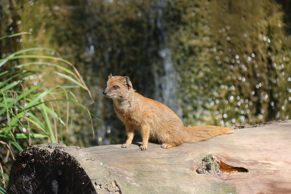 Yellow Mongoose - Diergaarde Amersfoort (Zoo)