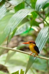 Oriental Dwarf Kingfisher (SameeraMJ) Tags: canon dwarf kingfisher oriental canoneos6d canonef70200mmf28lisiiusm canonefextender2xiii