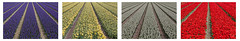 Colorful fields (davidcl0nel) Tags: flower amsterdam canon tulips feld felder blumen tulip fields hyacinth keukenhof tulpen lisse hyazinthe jacinth canon5dmarkiii ef70200f28lisiiusm