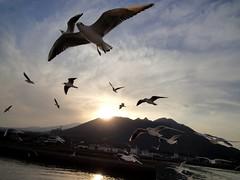flying_Mar,2011 (CHANG_23) Tags: travel japan fly flying seagull          commongull   laruscanus