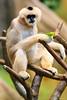 White-cheeked gibbon (dpsager) Tags: brookfield chicago dpsagerphotography gibbon monkey whitecheekedgibbon zoo