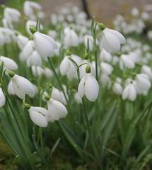Snowdrops (Galanthus) (Adam Swaine) Tags: snowdrops flora flowers kent naturelovers nature beautiful churchyard idehill england english britain british canon swaine petals