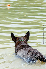 Limit Swims 2013-05-21-25 (falon_167) Tags: dog australian limit kelpie australiankelpie