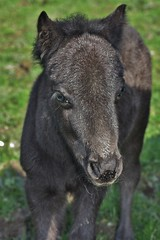 Dancing in the Dark (Storm Witch) Tags: shetlandpony foal