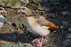 EGYPTIAN GOOSE (Colin Avison) Tags: water attenborough naturereserve quarry beeston nottinghamshire wildlifetrust
