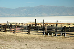 32 - Fence & bison (Scott Shetrone) Tags: animals utah events places antelopeisland bison mammals 7th anniversaries