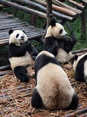 PA092509 (hardy1809) Tags: china pen panda minolta olympus bamboo chengdu ep1 bambus rokkor 55mm17 chengdupandabase