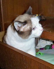 Drawer full of Misty (nycsiameserescue) Tags: rescue cat snowshoe siamese adopt ragdoll adoption sealpoint nycsiamese wwwnycsiameseorg nycsiameseorg