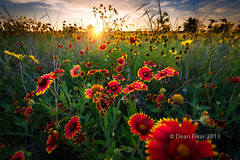 Texas Wildflowers (dfikar) Tags: red sky sun sunlight plant flower green nature floral beautiful field yellow rural sunrise landscape dawn golden colorful texas unitedstates bright wind blossom indian country sunny nobody sunflower rays sunrays breezy benbrook indianblankets
