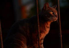 Watching Sunset (hpaich) Tags: pet animal cat grey feline chat tabby gray kitty gato kittie kittycat kittiecat