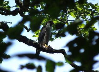 DSCF8571 Peregrine falcon (male)