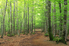 Verde que te quiero verde (Mimadeo) Tags: light sunlight tree green nature forest way leaf spring branch path trail trunk beech pathway springtime