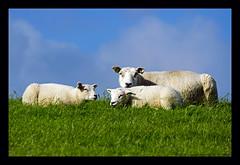 sheep with lambs II (xlod) Tags: vacation nature netherlands animal island sheep urlaub natur insel lamb ameland tier niederlande schaf lamm