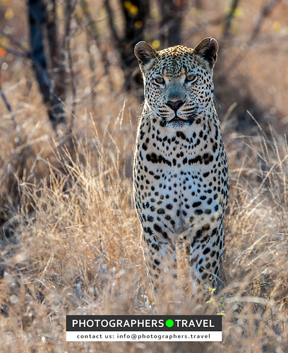 Leopard watching us