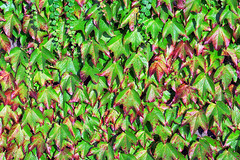 Enredaderas (Mimadeo) Tags: summer plants plant green texture nature floral leaves wall garden botanical leaf flora pattern natural outdoor background decoration grow ivy foliage growth covered hedge vegetation backdrop growing creeper botany textured