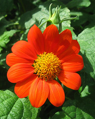 """Can You Say Orange?"" by My Beautiful Wife (Puzzler4879) Tags: flowers brooklyn bbg brooklynbotanicgarden pointshoot botanicgardens canonpowershot tithonia mexicansunflower canondigital tithoniarotundifolia canonaseries canonphotography perfectpetals canonpointshoot a580 canona580 canonpowershota580 powershota580"