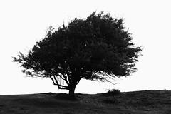 Tree (bies) Tags: tree nature silhouette natuur boom