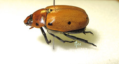 Grapevine Beetle (The NYSIPM Image Gallery) Tags: new york insect landscape university state beetle insects program cornell ipm pest pests arthropod cals cornelluniversity scarabbeetle lifescience scarabidae pelidnota pestmanagement integratedpestmanagement coolbugs nysipm