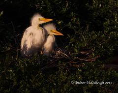 Egret Chicks@High Island, Texas (Let there be light (A.J. McCullough)) Tags: birds texas egret rookery nesting highisland texasbirds houstonaudubon avianexcellence uppertexascoast smithoaks