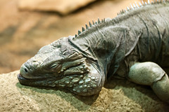 """Sleeping iguana • <a style=""""font-size:0.8em;"""" href=""""http://www.flickr.com/photos/30765416@N06/10388526364/"""" target=""""_blank"""">View on Flickr</a>"""