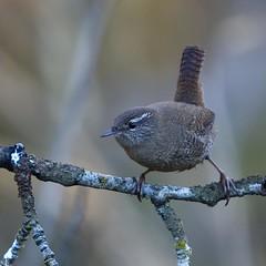 Wren / Msarrindill (ingolfssonvalur) Tags: bird birds wren troglodytes msarrindill