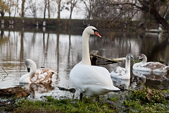 On a guard (Viktor Bright) Tags: nature water birds canon river ukraine swans dslr