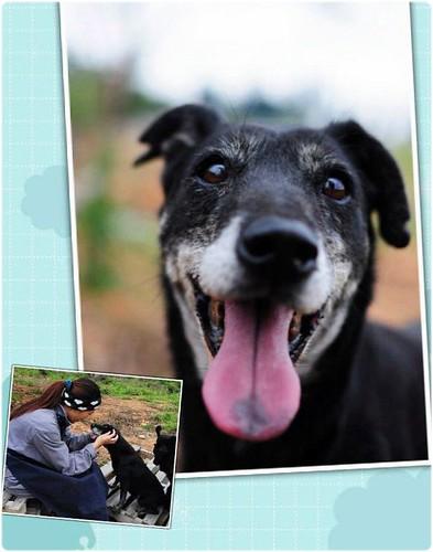 「徵安寧家庭」台中一輩子活在保育場的牛筋小姐~只剩約幾個月的生命~需要他狗生中第一個也是最後一個家~謝謝您~20131030
