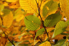 From Green To Gold (gripspix (OFF)) Tags: autumn plant nature leaves herbst natur autumnleaves bltter pfanze hebstbltter 20131026