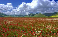 Red ocean (Fil.ippo) Tags: red panorama green landscape nikon meadow poppies prato filippo papaveri norcia castelluccio piangrande d7000 filippobianchi