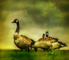 Canadian Geese in texture (xandram) Tags: texture nature photoshop canadageese