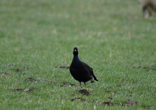 Black Grouse.