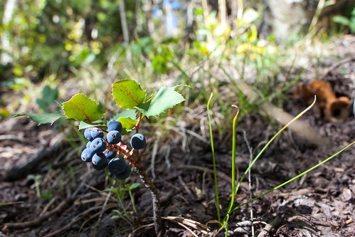 Oregon Grape _8571