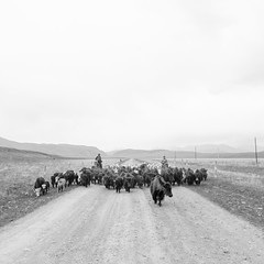 Traffic Jam (kevinschoenmakers) Tags: china travel blackandwhite monochrome square landscape asian cow blackwhite asia cattle cows chinese tibet minimal tibetan minority livestock gansu herder herders