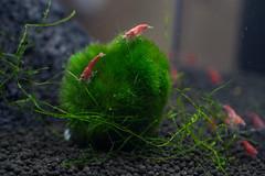Cherry Shrimp (RW Sinclair) Tags: red pet macro digital canon cherry 50mm aquarium aqua tank sony 7 shrimp fullframe alpha a7 freshwater invertebrate fd neocaridina heteropoda