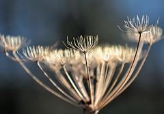 DSC_0085 - Winter Bouquet (SWJuk) Tags: park uk winter england plant macro home closeup nikon lancashire 80200 cowparsley burnley d90 towneley 2013 nikond90 swjuk mygearandme dec2013