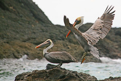 Get Lost! (Katka S.) Tags: ocean park sea costa bird nature water animal america landscape big pacific country central pelican rica national manuel antonio