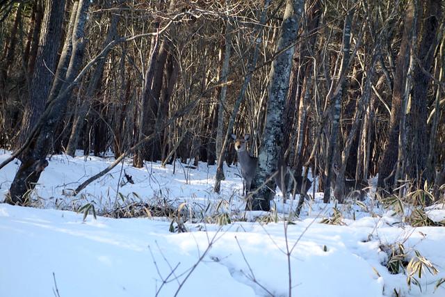 清里で鹿に遭遇