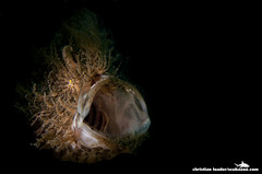 Hairy Frogfish - Lembeh Strait, Sulawesi, Indonesia - (snoot) (Christian Loader) Tags: lighting light hairy fish black macro eye blackbackground mouth dark hair indonesia underwater critter creative yawn spotlight camouflage frogfish technique sulawesi strobe yawning lembeh hairball underwaterphotography snoot anglerfish hairyfrogfish lembehstrait antennariusstriatus ecodivers christianloader scubazooimages