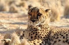 Gepard Namibia