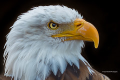 American Bald Eagle: Portrait (PandaPaw Photography) Tags: park zoo eagle wildlife ngc bald npc american jungle tenerife birdofprey americanbaldeagle avianexcellence jungleparktenerife beautiesbeasts haydnbartlettphotography infinitexposure