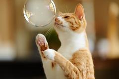 Bubble (rampx) Tags: zeiss cat ginger kittens bubble neko   irori miaw zf2 aposonnart2135
