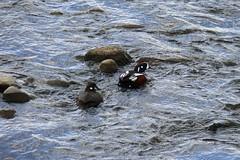 Harlequin Duck along Kjolur Pass (Pete Read) Tags: iceland duck pass along harlequin kjolur