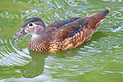 Juvenile Wood Duck 15-0723-7564 (digitalmarbles) Tags: canada reflection bird nature water animal swimming canon reflecting duck wake bc britishcolumbia ripple wildlife duckling young immature waterfowl juvenile sanctuary birder reifel woodduck lowermainland aixsponsa birdphotography deltabc wildlifephotography birdphoto reifelsanctuary eyering canoneosrebelt5