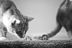Day Three Hundred and Forty Eight / Year Five. (evilibby) Tags: barnabee ginger cat cats dinosaur dinosaurs stegosaurus triceratops play playing sniff blackandwhite blackwhite bw project365