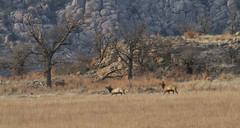 Elk 3-4-17 (Larry Smith2010) Tags: wichitamountainswildliferefuge larrysmith oklahoma wichitamountains elk