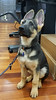 Kelby 001 (PauerKorde Photo) Tags: dog canine germanshepherd gsd companionanimal servicedog guidingeyesfortheblind guidingeyes puppy
